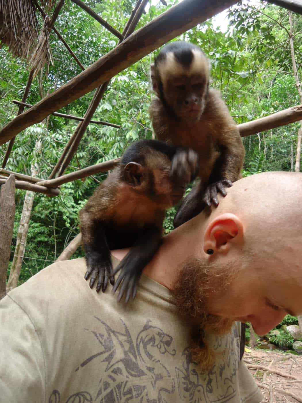 kapucin opice peru